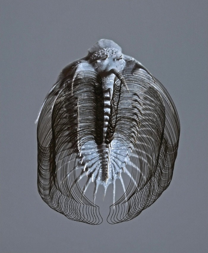 Small  c  anna vogel  trilobit  18  2016